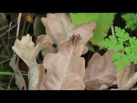 Naturbeobachtung Nymphe der Gemeinen Strauchschrecke(Pholidoptera griseoaptera(De Geer 1773))