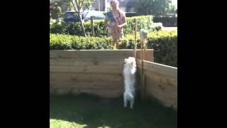Puppy Westie Trying To Jump Over A Fence