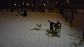 Шиба ину 4 мес на площадке для собак