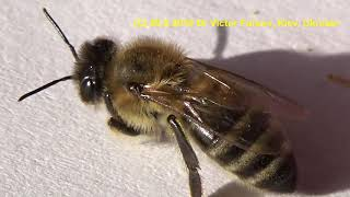 Ukrainian Honeybee, Structure of body & MACRO of Grooming