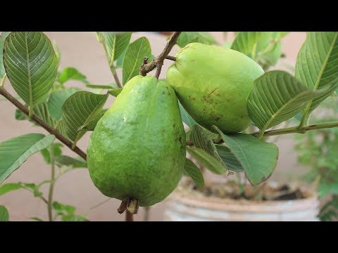 Growing Guava in a Container -Terrace Garden