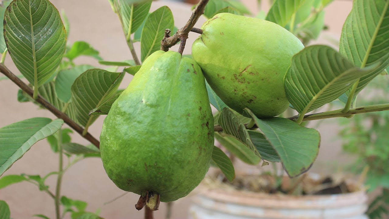 Growing Guava In A Container Terrace Garden