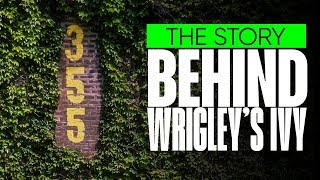 The Backstory on Wrigley Field's Ivy! (Iconic Chicago Cubs outfield fence)