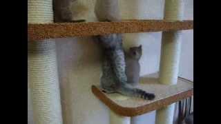 питомник шотландских фолд и страйт кошек  Fairy Cat