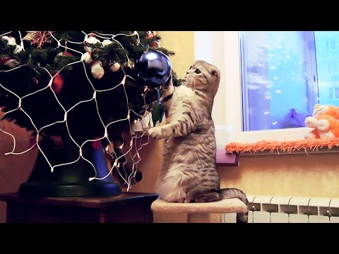 Cat playing with christmas hat and tree - funny and festive