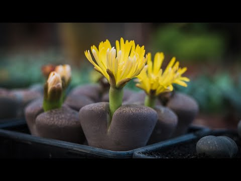 When You Need To Water Lithops? | Living Stones Watering Techniques