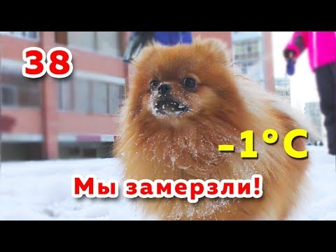 spitz-is-freezing-in-the-winter,-pomeranian-9-months-puppy-dog-on-winter-walk,-our-dogs-are-beggars