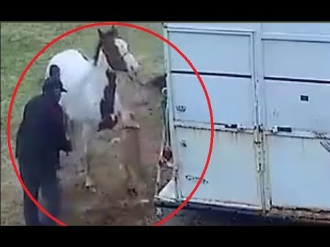 Pitbull attacks a horse and pays the price!!!