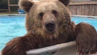 Невероятные животные #8! Медведь в бассейне