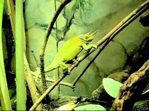 Funny Talking Animals: Chameleon
