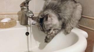 Сибирский кот - Пушок