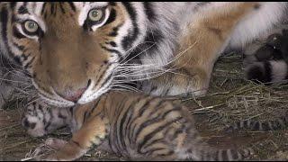 Первое видео с новорожденными, ещё слепыми, тигрятами в Крыму