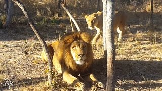 Sneaky Lioness Pounces On Lion