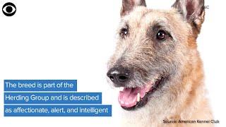 WEB EXTRA: New Dog Breed