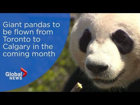 Giant pandas to be flown from Toronto to Calgary in the comi