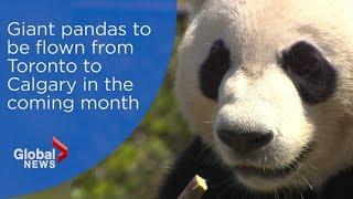 Giant pandas to be flown from Toronto to Calgary in the coming month