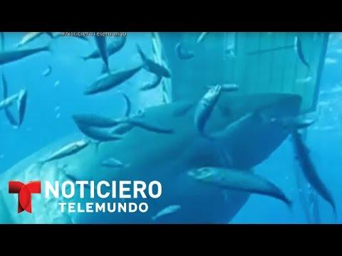 Graban en México al tiburón blanco más grande que se ha registrado   Noticiero   Noticias Telemundo
