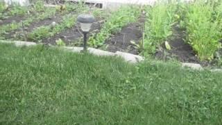Urban Survival Gardening (Alberta,Canada) 2012
