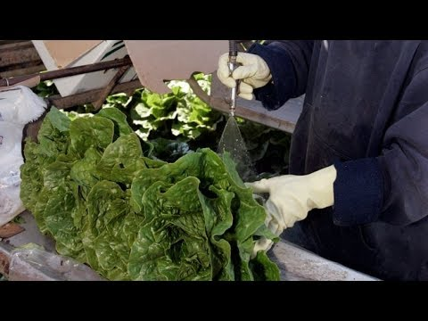 C.D.C. Issues E. Coli Warning on Romaine Lettuce Ahead of ...