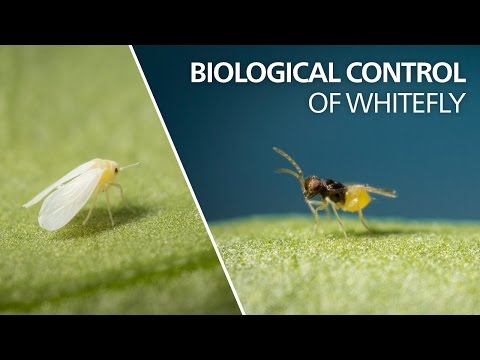 Biological control of whitefly -  Encarsia Formosa