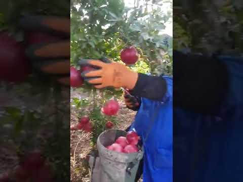 thu hoạch lựu lùn (harvest the pomegranate)