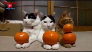 Приколы с кошками#2-Лучшие видео приколы 2016