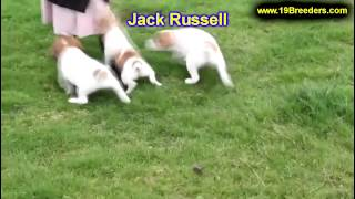 Jack Russell, Puppies, For, Sale, In, Boise City, Idaho, Id, Rexburg, Post Falls, Lewiston, Twin Fal