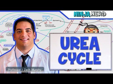 Metabolism   Urea Cycle