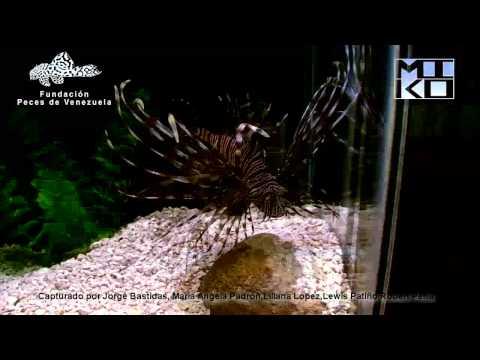 Pterois Volitans Video.mp4