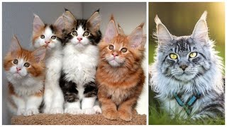 15 Interesting Maine Coon Facts