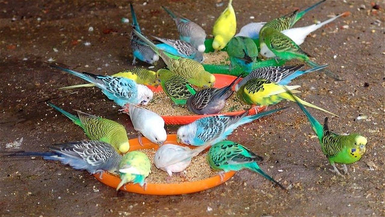 love birds hd sounds