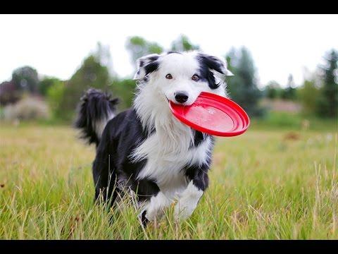 10-smartest-dog-breeds-ever