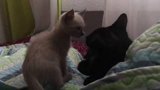 Black Kitten loves and plays with his new little brother!