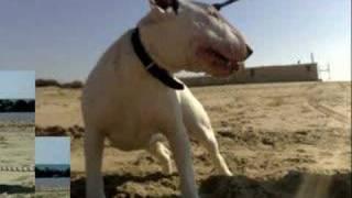 Bull Terrier Koncordia's Present Asin Misha
