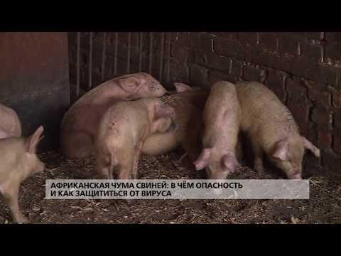 Африканская чума свиней: в чём опасность и как защититься от вируса