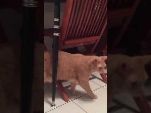 PuppyFinder.com : June 22, 2017 BOUVIER LITTER (kissing the kitty)