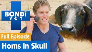 🐃 Buffalo Has Horns Growing Into Its Head! | FULL EPISODE | S07E14 | Bondi Vet