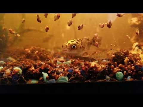 Puffer Fish Eating Tank Snails