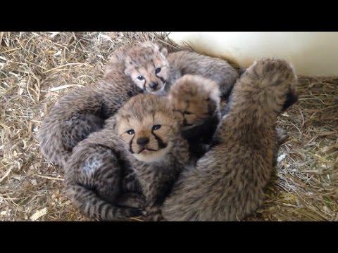 12 cheetah cubs born at the Smithsonian
