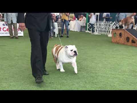 Bulldog Ingls Expo Lima Enero 2019 Machos Campeones Juez Canaliz USA