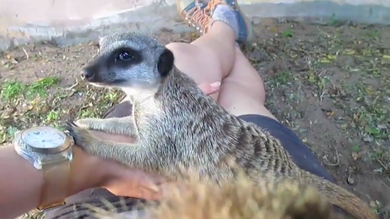 Adorable young meerkat loves attention from caretaker