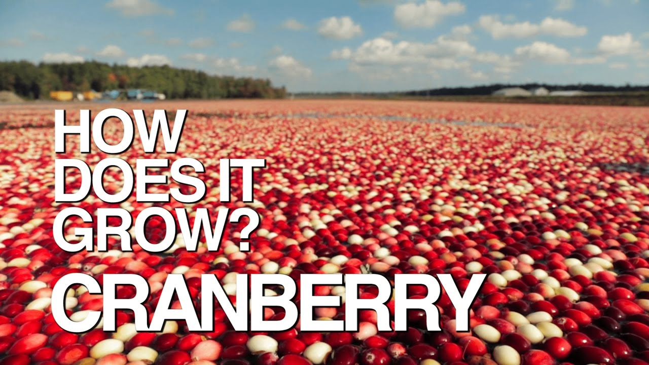 Pictures Of Cranberries Growing