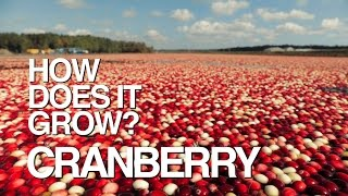 How Does It Grow? Cranberries