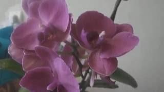видео Как продлить цветение орхидеи фаленопсис