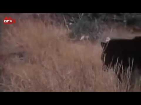 Beruang Hitam vs Singa   Binatang Buas Berkelahi   Pertarungan Hewan Pemangsa www stafaband co