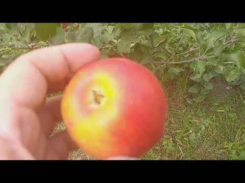 Яблоня сорт зимний Кариот - 7(Apple Kariot 7 )