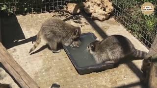 Как еноты детей купают )))))))))) Тайган. As raccoons children bathe)))))))))) Taigan.