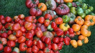 How To Grow The BEST TOMATOES!