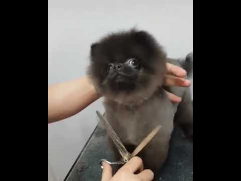 Dog that loves getting his hair cut - to Ducktales Intro