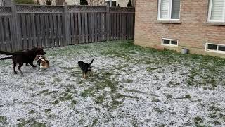 Oscar, Harper and Ovie playing in the backyard covering by a light snow.